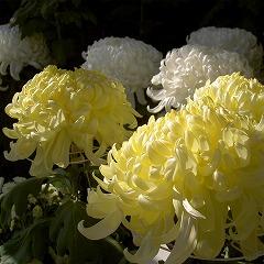 051112chrysanthemum